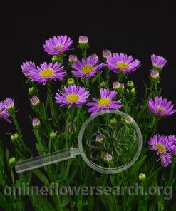 Aster Novi Belgii Purple