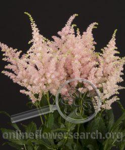 Astilbe Light Pink
