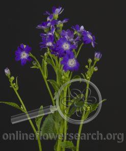Cineraria Blue