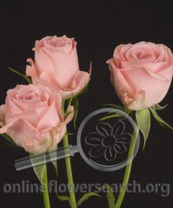 Spray Rose Colorado