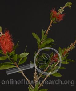 Bottle Brush - Little John