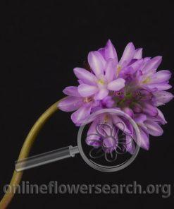 Triteleia Congesta Lavender