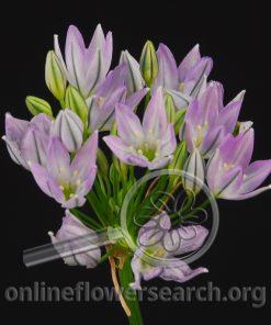 Triteleia Hyacintha