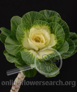 Kale/Cabbage Ornamental White