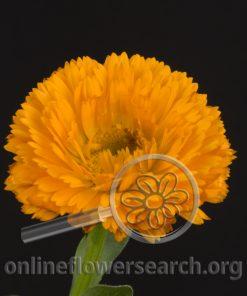Calendula Orange