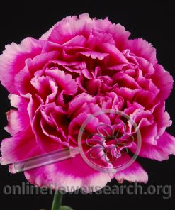 Carnation Arevalo