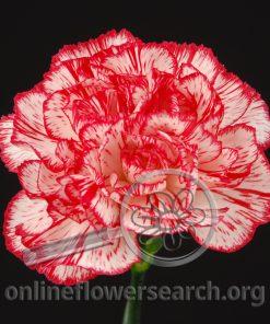 Carnation Charlie