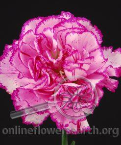 Carnation Dark Renderz Vous