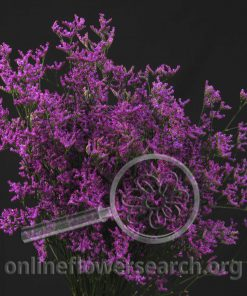 Limonium Misty Pink