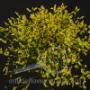 Limonium Misty Yellow