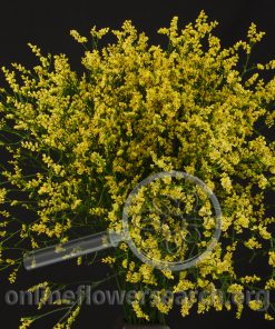 Limonium Misty Yellow