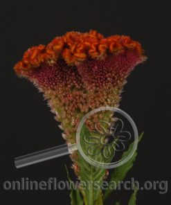 Celosia Cockscomb Bombay Orange