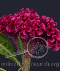 Celosia Cockscomb Bombay Purple