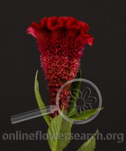 Celosia Cockscomb Bombay Red