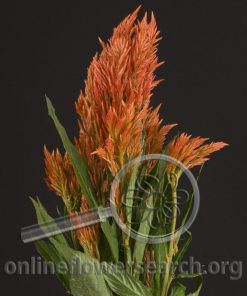 Celosia Plume Orange