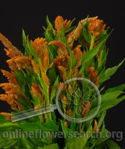 Celosia Wheat Yellow