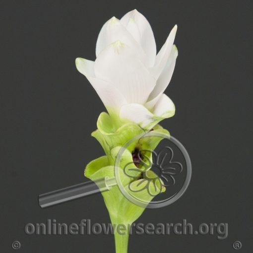 Curcuma White