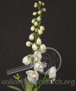 Delphinium Hybrid White