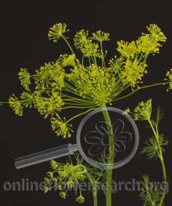 Dill Yellow