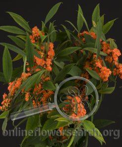 Euphorbia Orange