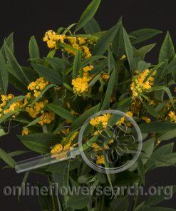 Euphorbia Yellow