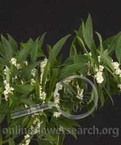 Euphorbia White