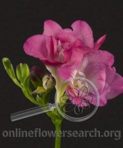 Freesia Medium Pink