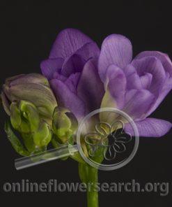 Freesia Purple