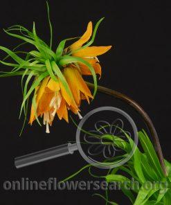 Fritillaria imperialis Orange