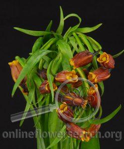 Fritillaria acmopelata