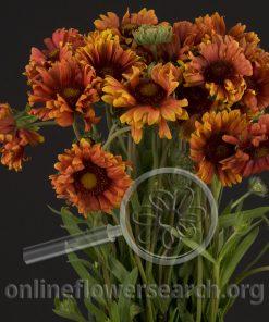 Gaillardia Orange