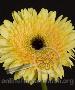 Gerbera Cream Black Center