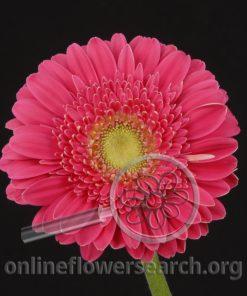Gerbera Hot Pink