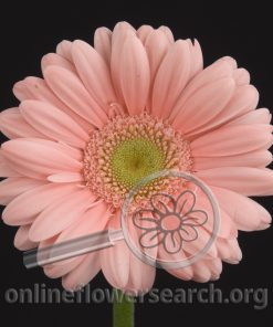 Gerbera Light Pink