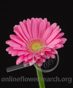 Gerbera Mini Hot Pink