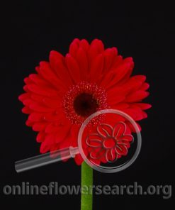 Gerbera Mini Red Black Center
