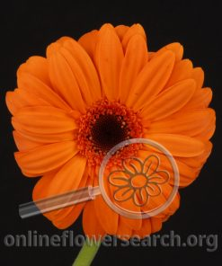 Gerbera Orange Black Center