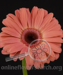 Gerbera Peach Black Center