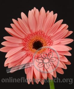 Gerbera Pink Black Center