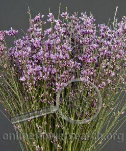 Genista Lavender (Ginestra)