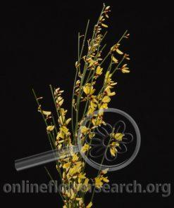 Genista Yellow (Ginestra)