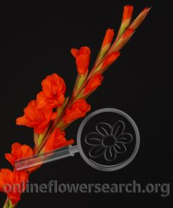 Glads (Gladiolus) - Orange