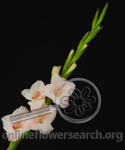 Glads (Gladiolus) - Peach