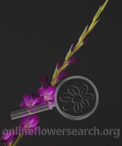 Glads (Gladiolus) - Purple