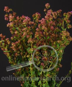 Oregano Bristal Cross