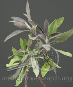 Herb Sage Purple