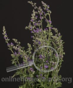 Herb Catmint