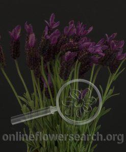 Herb Lavender Spanish
