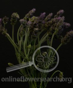 Herb Lavender French