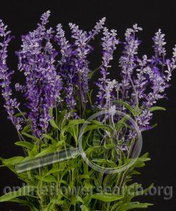 Herb Salvia leucantha